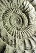 Leinwandbild Motiv Nautilus Versteinerung