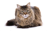 Cat, Maine coon poster