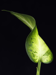 Variegated Plant Leaves on Black Background 3