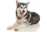 Malamute purebred dog in the studio poster