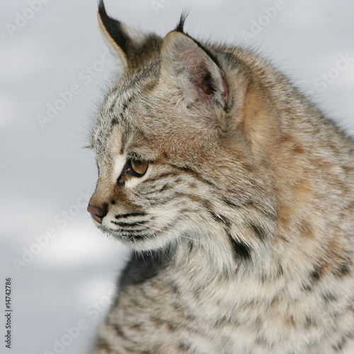 """Baby North American Bobcat Closeup"" Stock photo and ..."