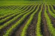 Reihen Maisfeld