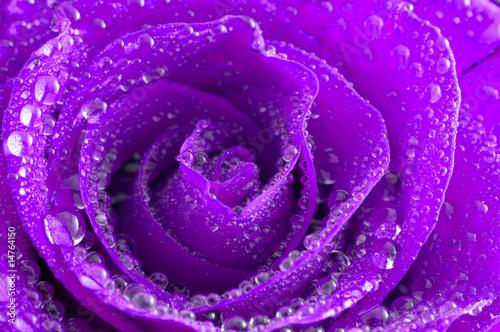 roza-z-kroplami-wody-tlo