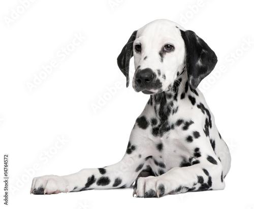 Deurstickers Franse bulldog Dalmatian puppy