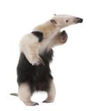 Collared Anteater - Tamandua tetradactyla poster