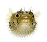 Long-spine porcupinefish also know as spiny balloonfish - Diodon poster