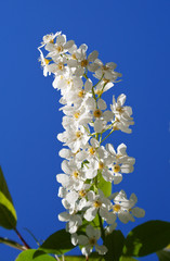 Branch of a blossoming bird cherry