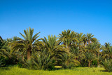 palm grove in Morocco poster
