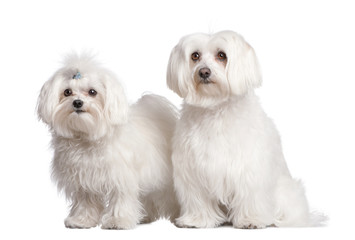 couple of two maltese dog