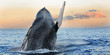 canvas print picture - Breaching Humpback