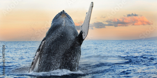 In de dag Onder water Breaching Humpback