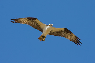 Osprey Eagle