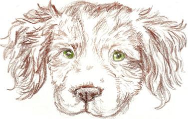 Britney Spaniel Dog