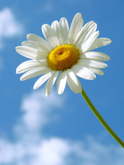 daisy against blue sky