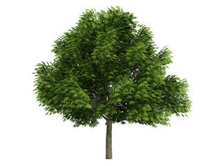 Chestnut (Aesculus glabra)