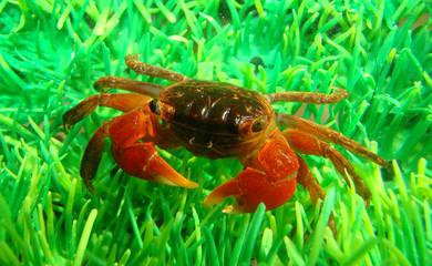 midget mangrove crab in aquarium