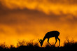 Springbok antelope silhouette, Kalahari desert, South Africa