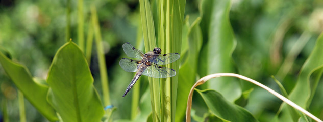Libelle (Dragonfly)