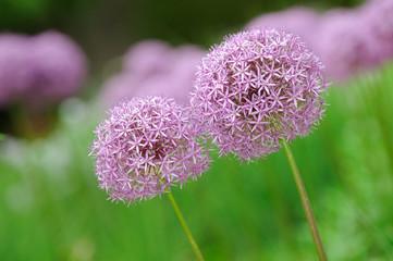 Allium Flower or Purple Globe