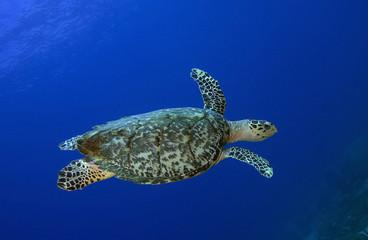 Hawksbill Sea Turtle, St. Lucia