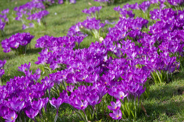 Dutch spring crocus flowers