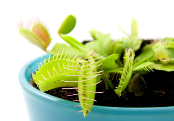 Blue pot with Dionaea isolated on white background