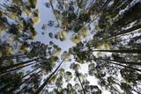 Fototapety eucalyptus