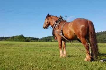 Belgique Horse working