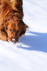 Golden jugando en la nieve