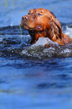 Golden retriever en el agua