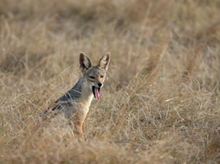 Black-backed Jackal Yawning