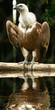 avvoltoio a bordo lago