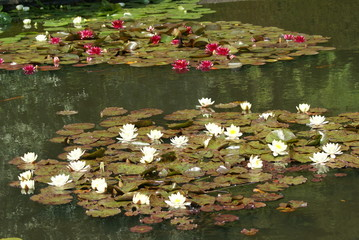 water lillies on a pond