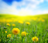 Fototapety dandelions and sunny day