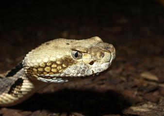 Schlange - Kopf