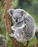 koala poking out tongue poster