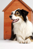 Border collie and her home 2