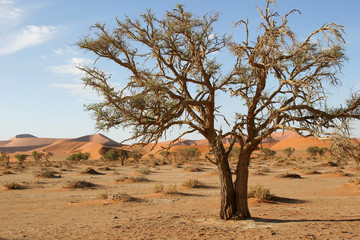Acacia Tree in Sossusvlei, Namibia