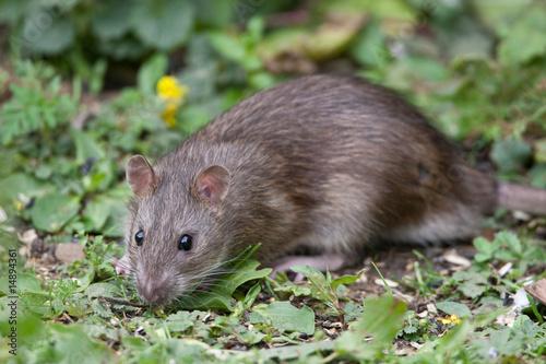 Foto op Aluminium Dragen Wild Brown Rat