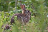 Wild Rabbit in the English countryside