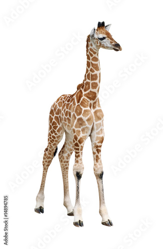 Papiers peints Girafe Giraffe calf on white