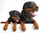 Fototapety rottweiler et son chiot