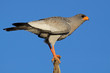 Pale Chanting goshawk (Melierax canorus), South Africa