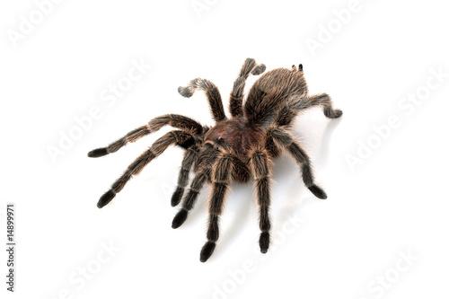 Rose Hair Tarantula - 14899971
