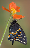 Black swallowtail clinging to poppy