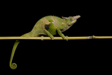 Fisher¡¯s chameleon