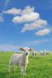 lambs new