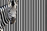 Zebra on striped background, looking at camera