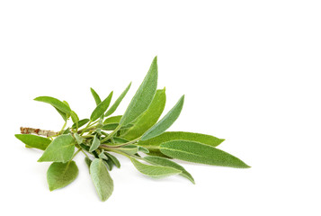 Sage Herb Leaf Sprig