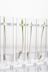Seedlings in four test tubes